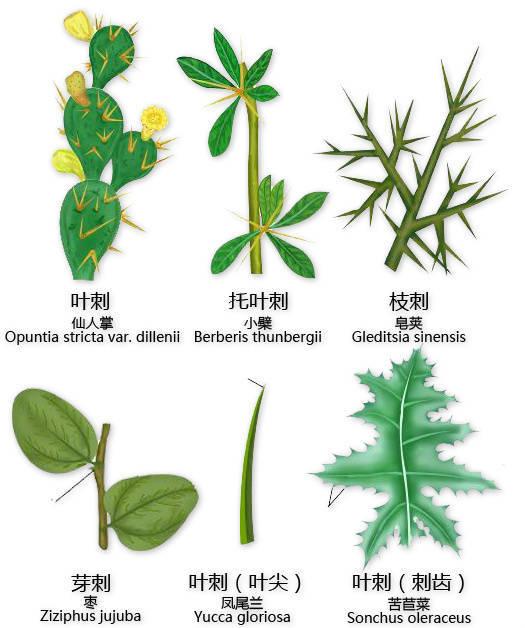 干货|最全的植物形态图解!_11