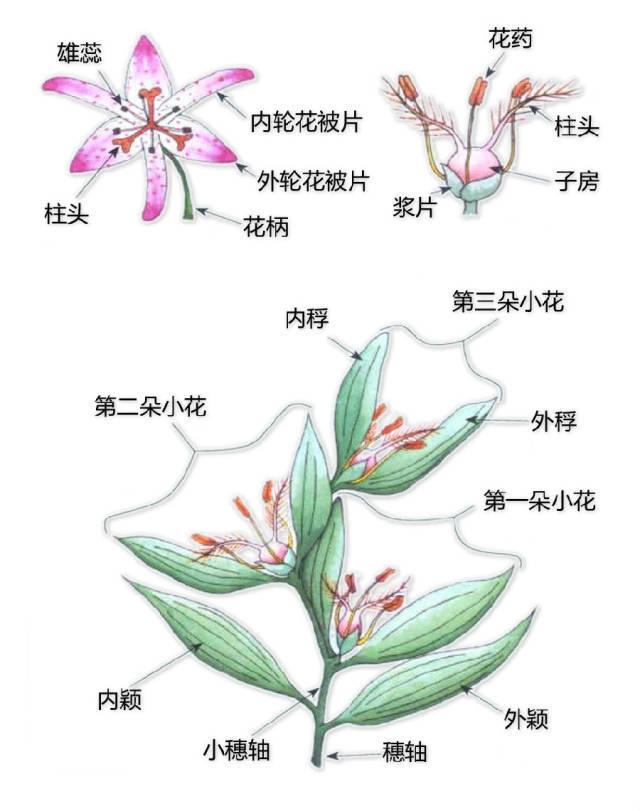 干货|最全的植物形态图解!_17