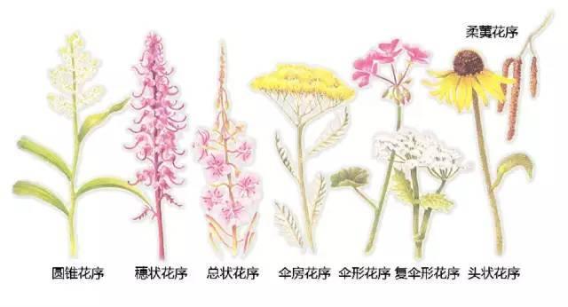 干货|最全的植物形态图解!_24