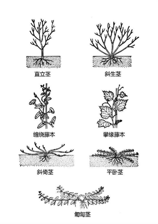 干货|最全的植物形态图解!_34