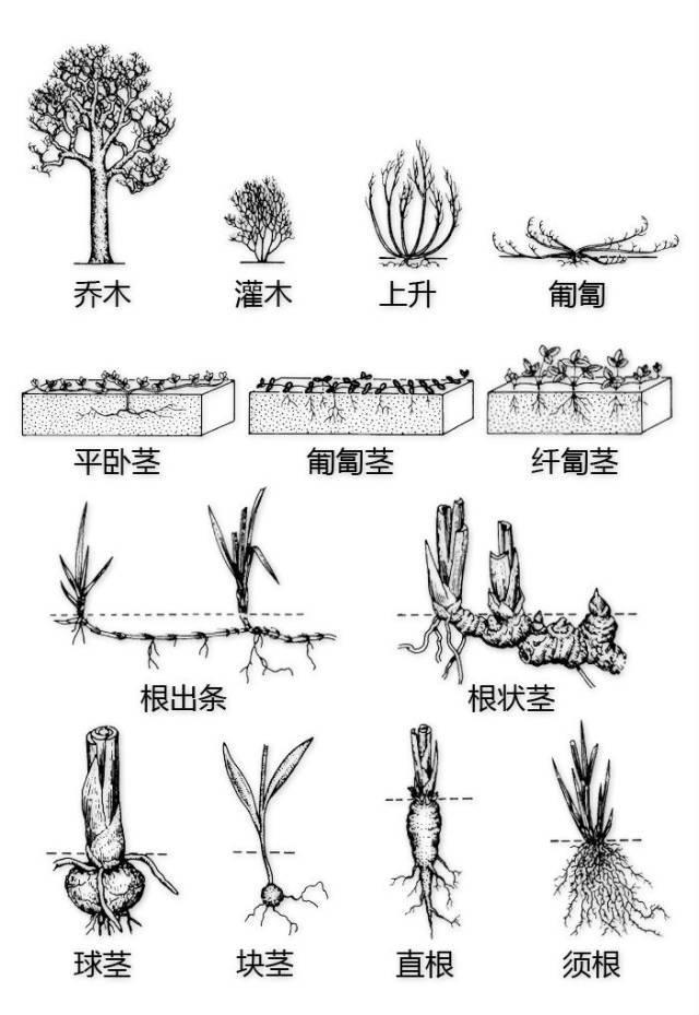 干货|最全的植物形态图解!_37