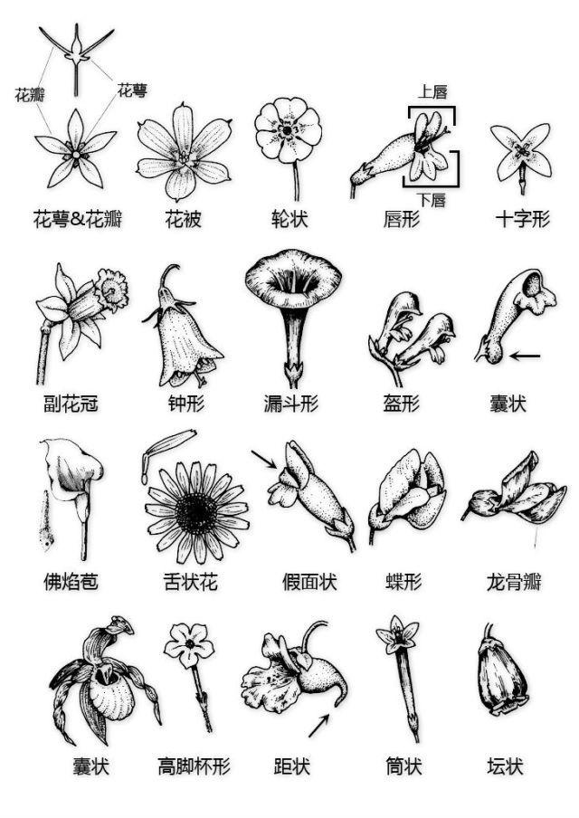 干货|最全的植物形态图解!_23