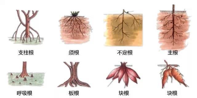 干货|最全的植物形态图解!_38