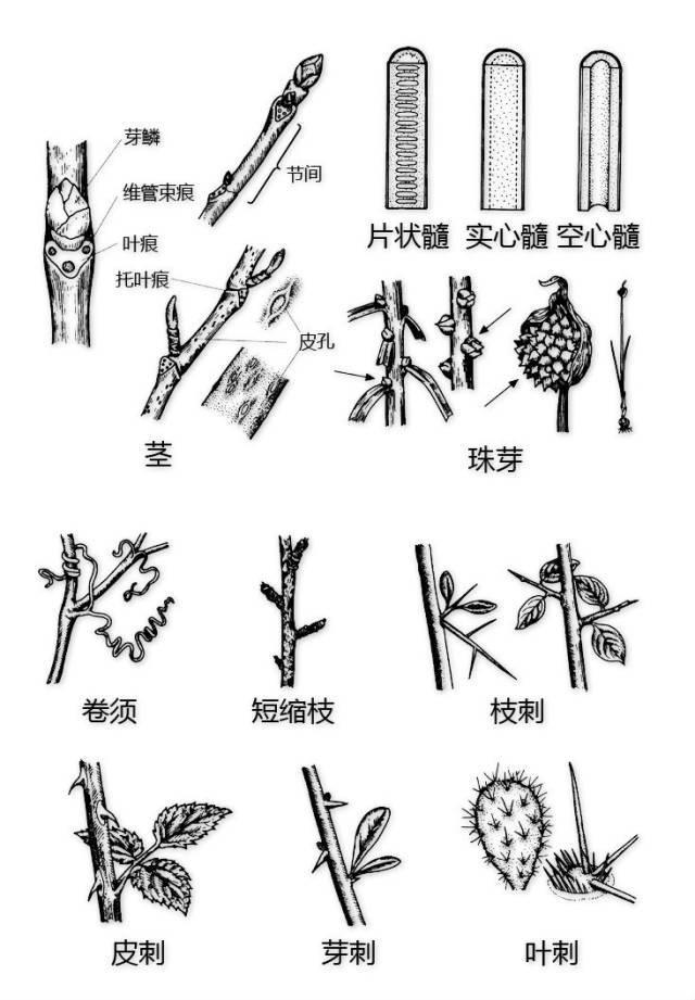 干货|最全的植物形态图解!_35
