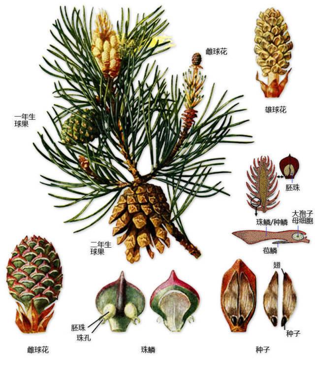 干货|最全的植物形态图解!_32