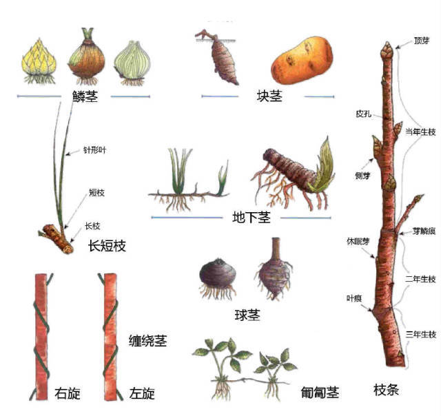 干货|最全的植物形态图解!_36
