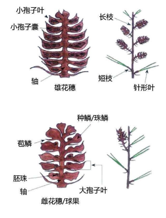 干货|最全的植物形态图解!_27