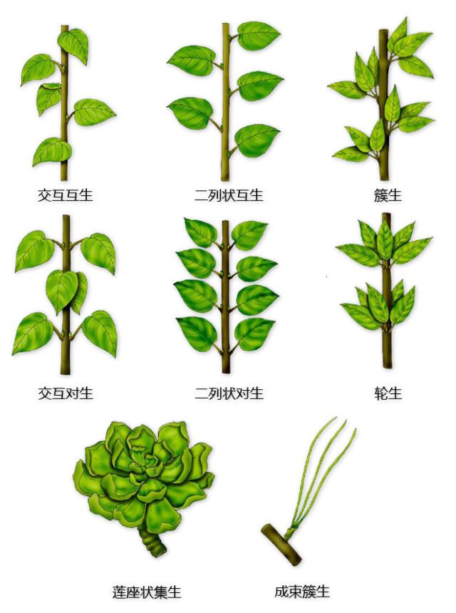 干货|最全的植物形态图解!_2
