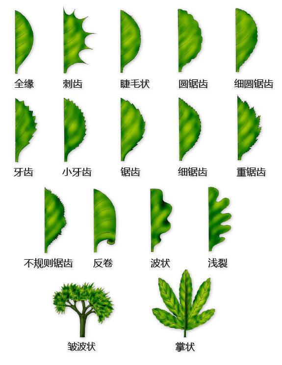 干货|最全的植物形态图解!_5