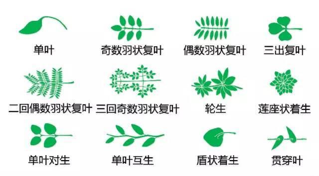 干货|最全的植物形态图解!_3