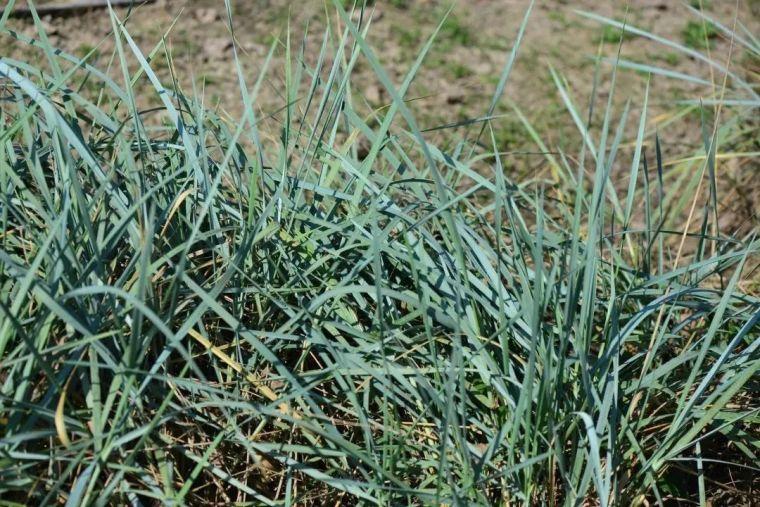 夏日花园的高级灰,值得拥有的20种银叶植物_24