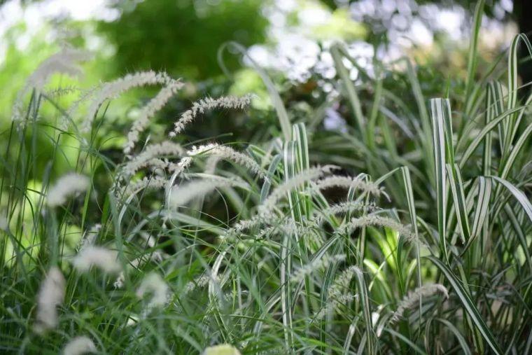 夏日花园的高级灰,值得拥有的20种银叶植物_23