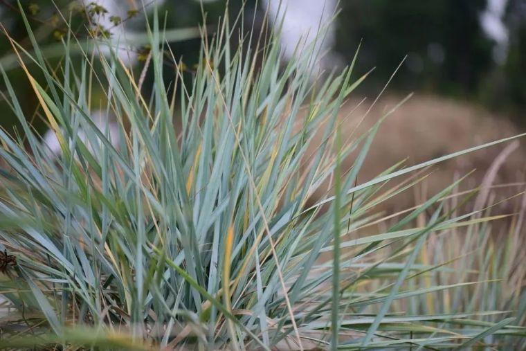 夏日花园的高级灰,值得拥有的20种银叶植物_25