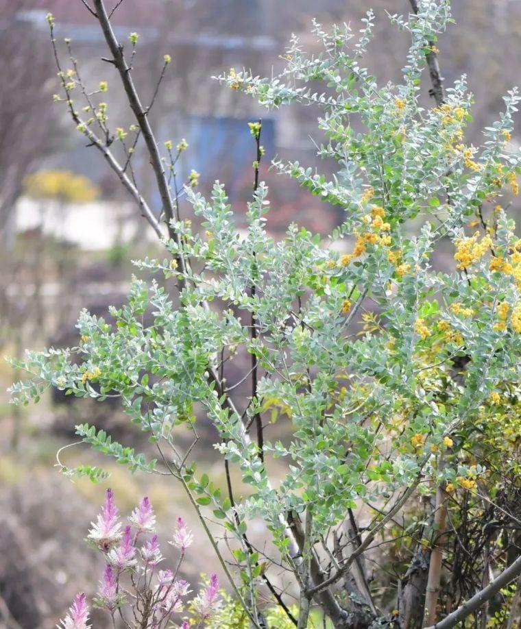 夏日花园的高级灰,值得拥有的20种银叶植物_46