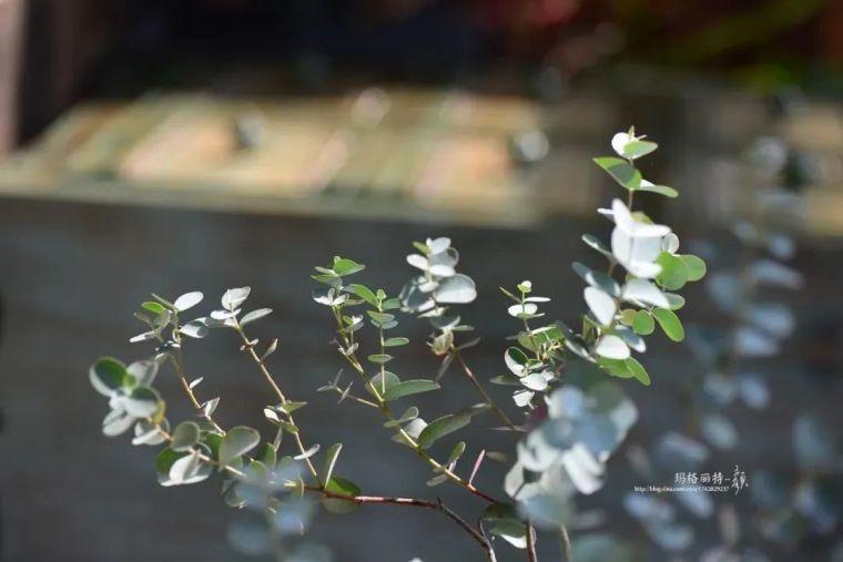 夏日花园的高级灰,值得拥有的20种银叶植物_44