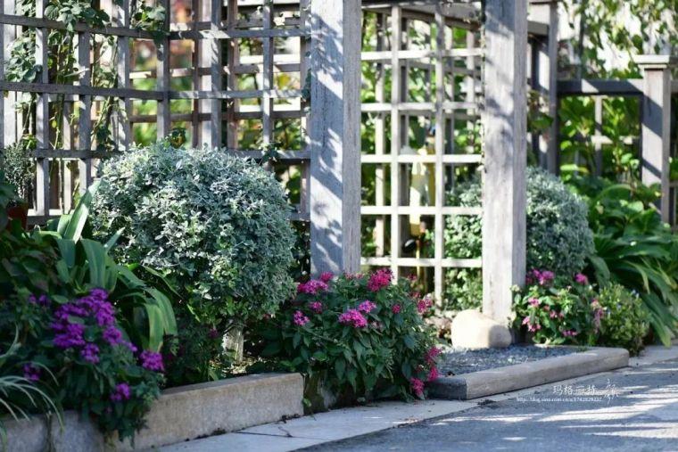 夏日花园的高级灰,值得拥有的20种银叶植物_27