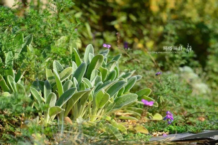 夏日花园的高级灰,值得拥有的20种银叶植物_30