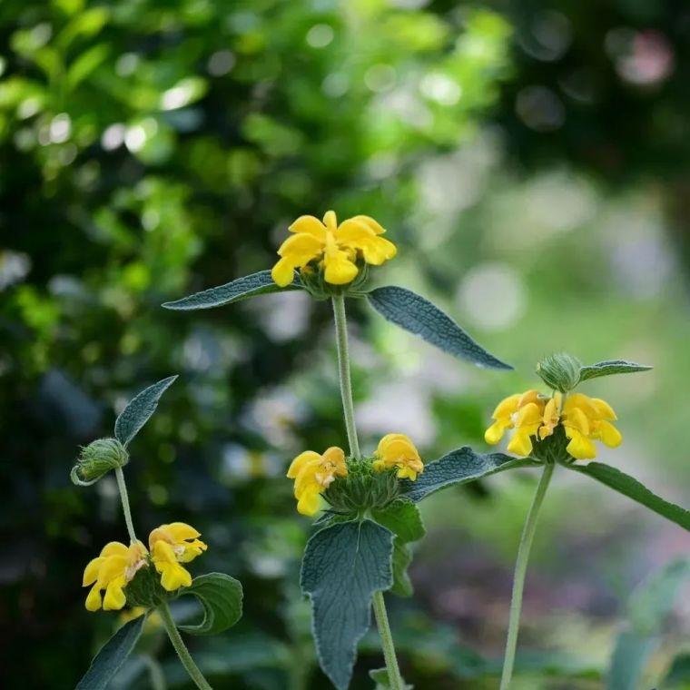 夏日花园的高级灰,值得拥有的20种银叶植物_34