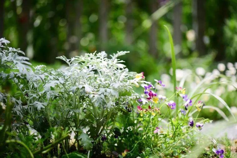 夏日花园的高级灰,值得拥有的20种银叶植物_6