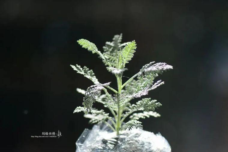 夏日花园的高级灰,值得拥有的20种银叶植物_7