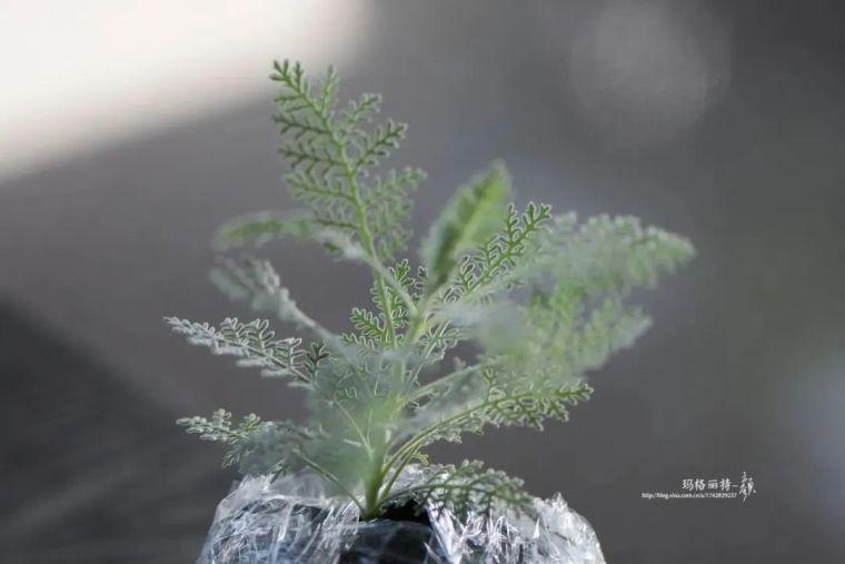 夏日花园的高级灰,值得拥有的20种银叶植物_8