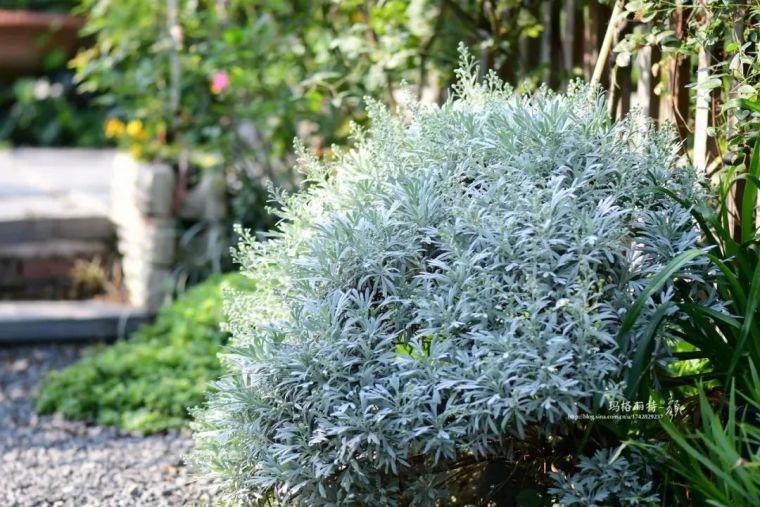 夏日花园的高级灰,值得拥有的20种银叶植物_10