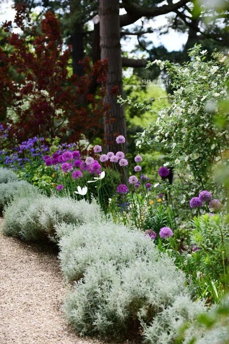 夏日花园的高级灰,值得拥有的20种银叶植物_15