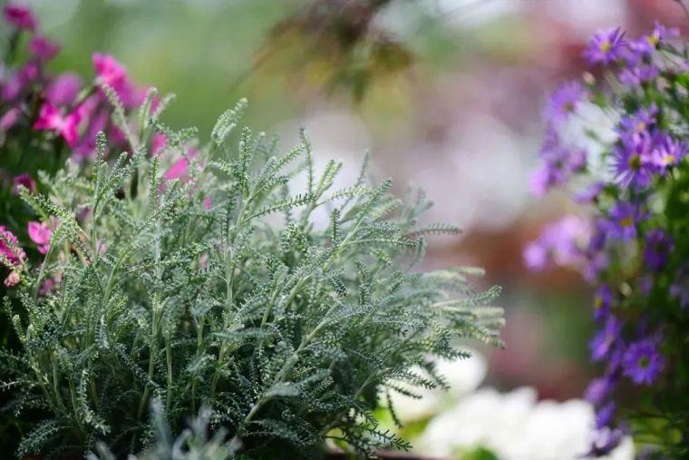 夏日花园的高级灰,值得拥有的20种银叶植物_14