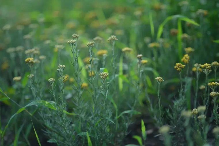 夏日花园的高级灰,值得拥有的20种银叶植物_18