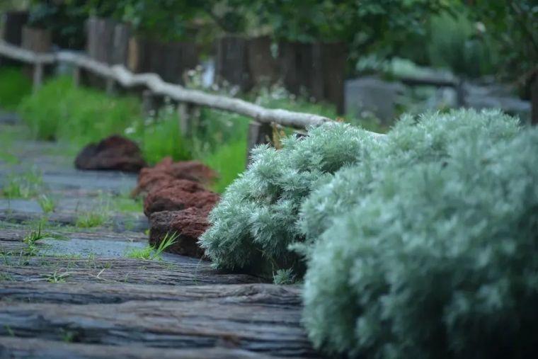 夏日花园的高级灰,值得拥有的20种银叶植物_20