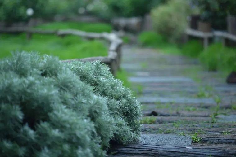 夏日花园的高级灰,值得拥有的20种银叶植物_19