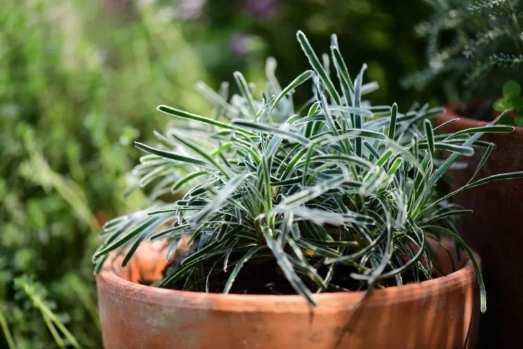夏日花园的高级灰,值得拥有的20种银叶植物_21