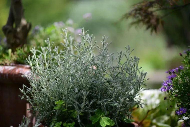 夏日花园的高级灰,值得拥有的20种银叶植物_1