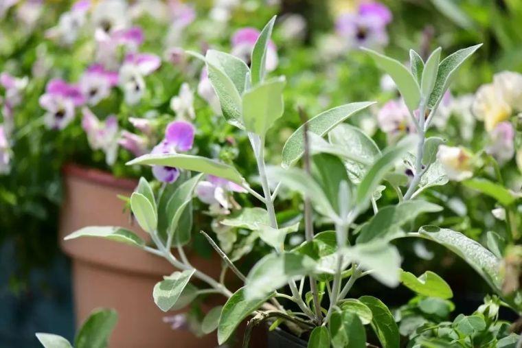 夏日花园的高级灰,值得拥有的20种银叶植物_37