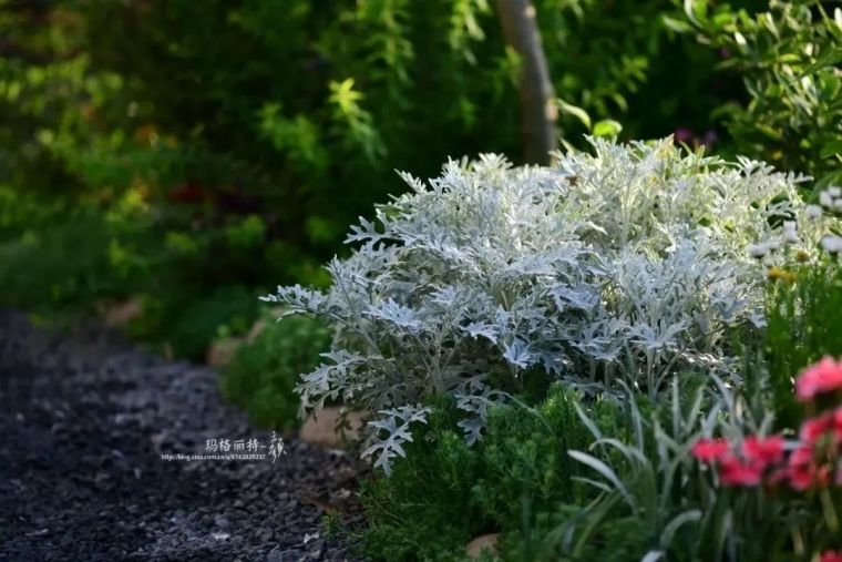 夏日花园的高级灰,值得拥有的20种银叶植物_3