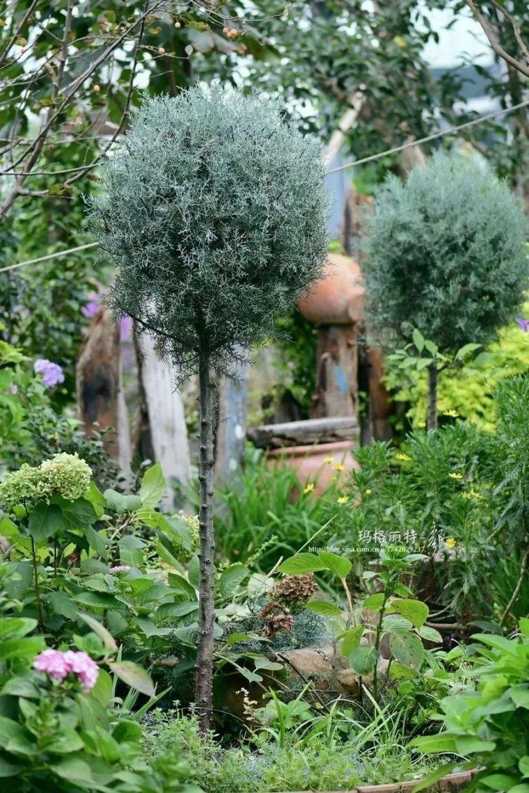夏日花园的高级灰,值得拥有的20种银叶植物_39