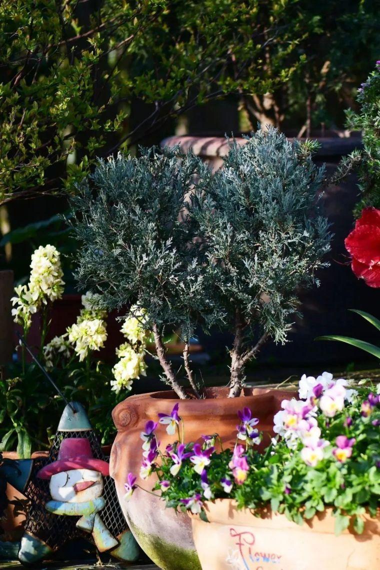 夏日花园的高级灰,值得拥有的20种银叶植物_41