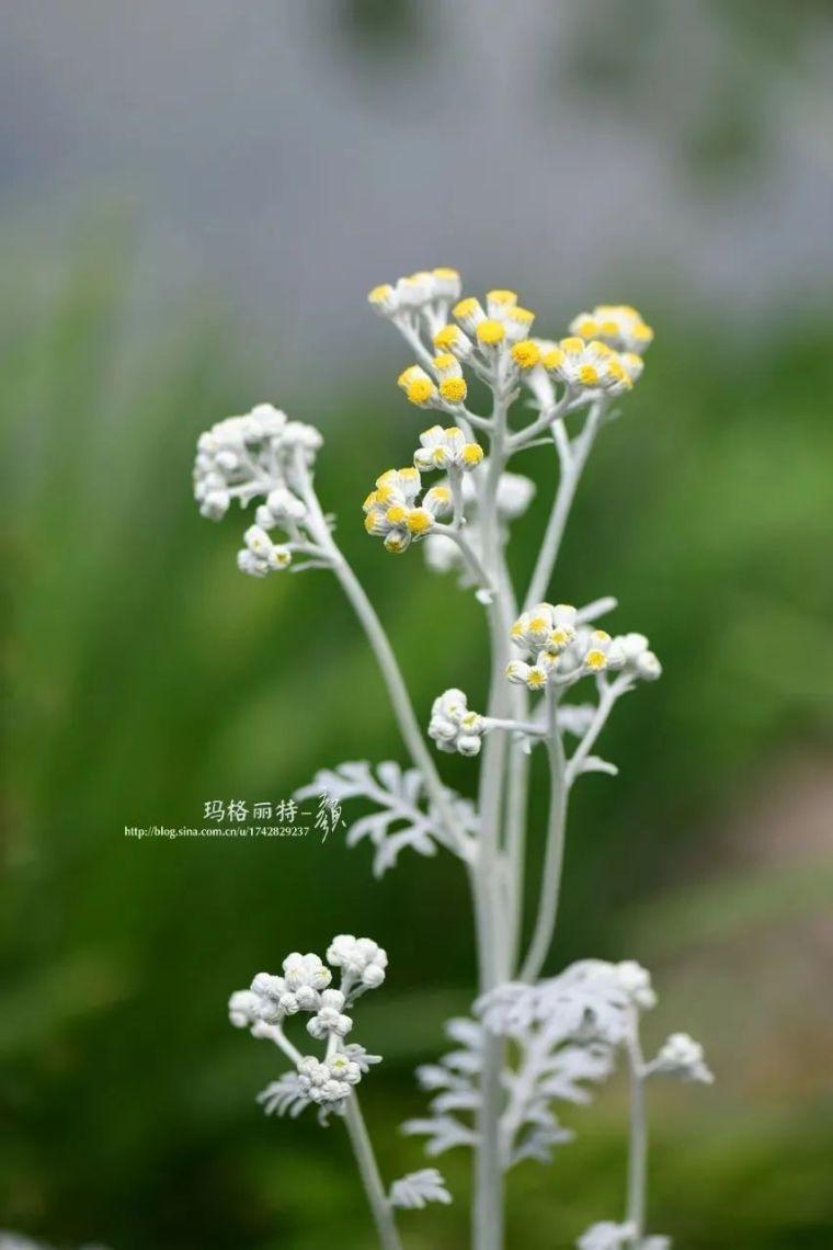 夏日花园的高级灰,值得拥有的20种银叶植物_5