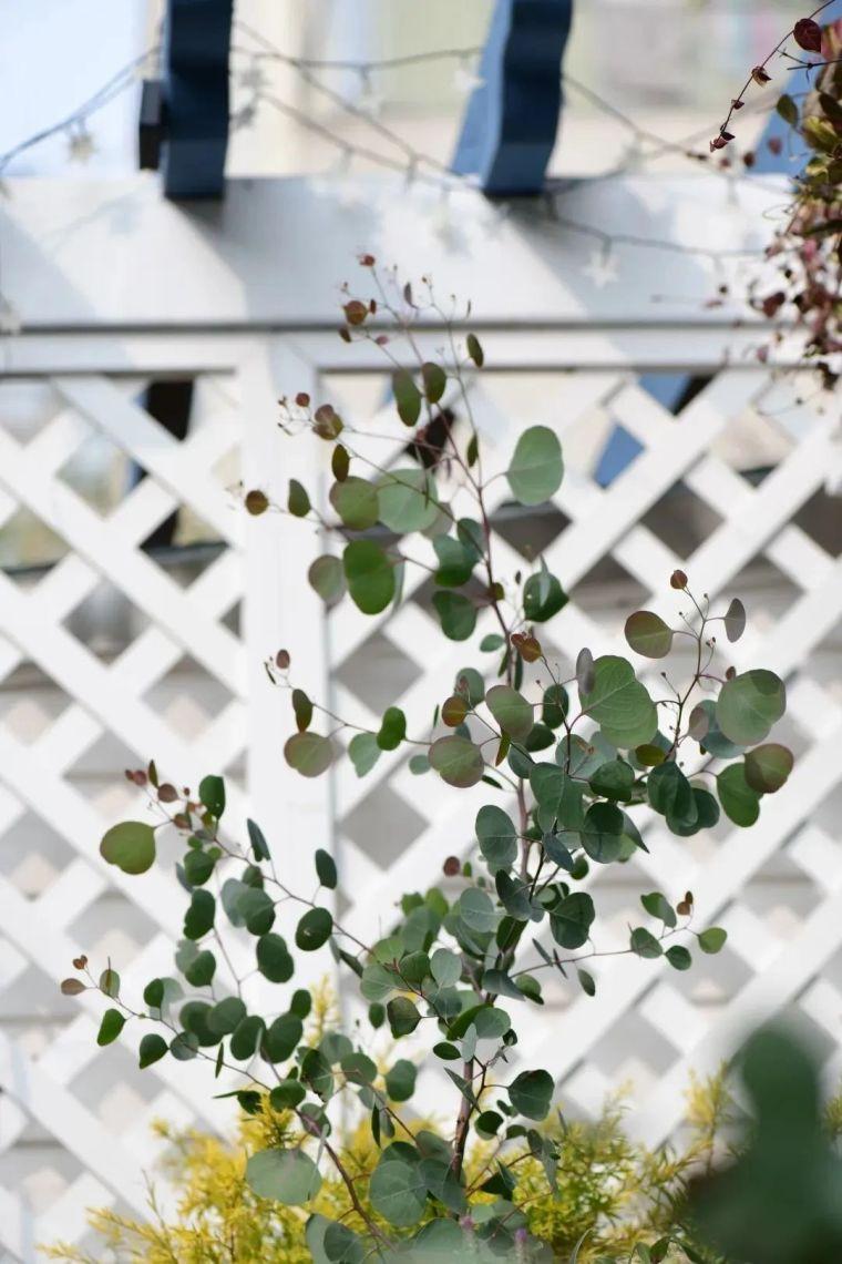 夏日花园的高级灰,值得拥有的20种银叶植物_43