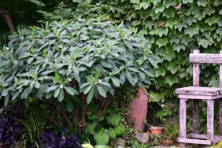 夏日花园的高级灰,值得拥有的20种银叶植物_42