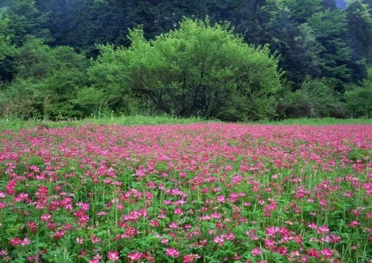 干货|超全园林地被植物应用,值得收藏!_2