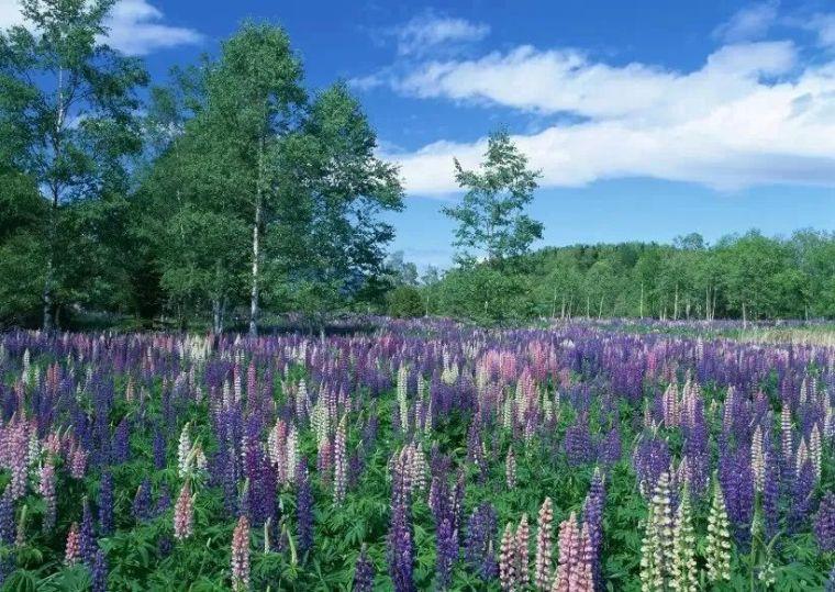 干货|超全园林地被植物应用,值得收藏!_4