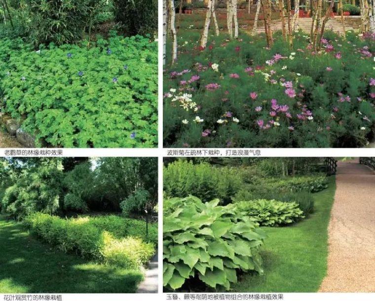 干货|超全园林地被植物应用,值得收藏!_15