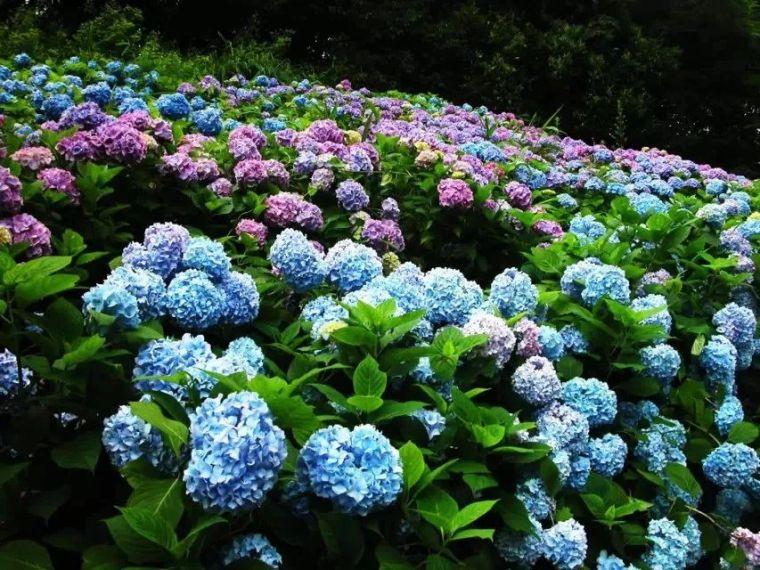 干货|超全园林地被植物应用,值得收藏!_22