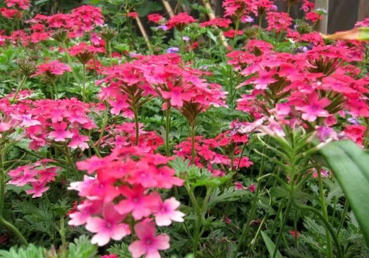 干货|超全园林地被植物应用,值得收藏!_21