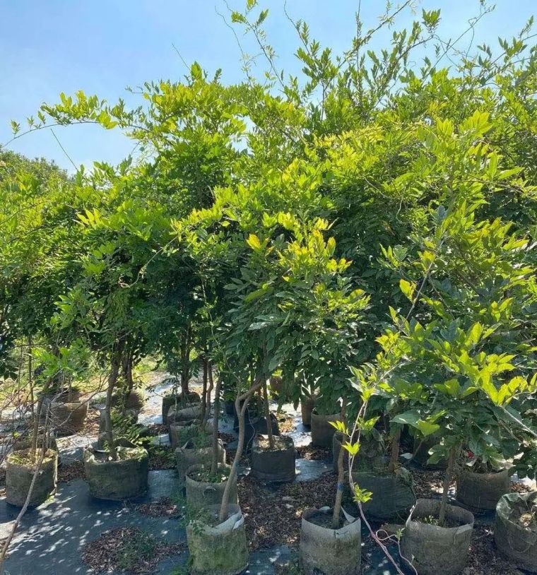 11月份常用的30种花境植物_6