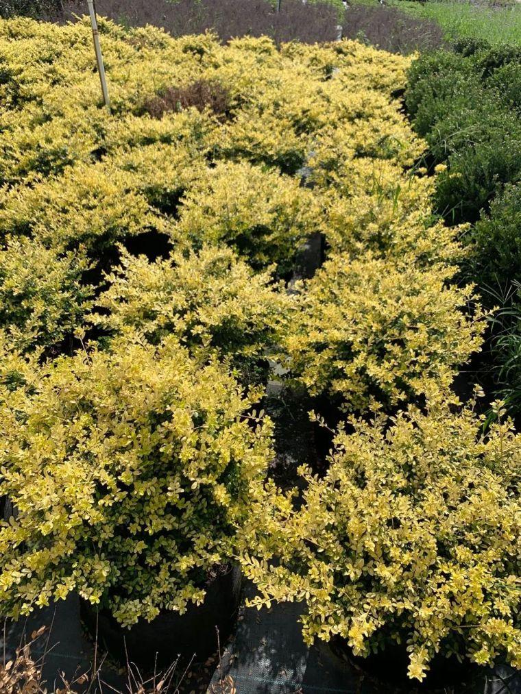 11月份常用的30种花境植物_8