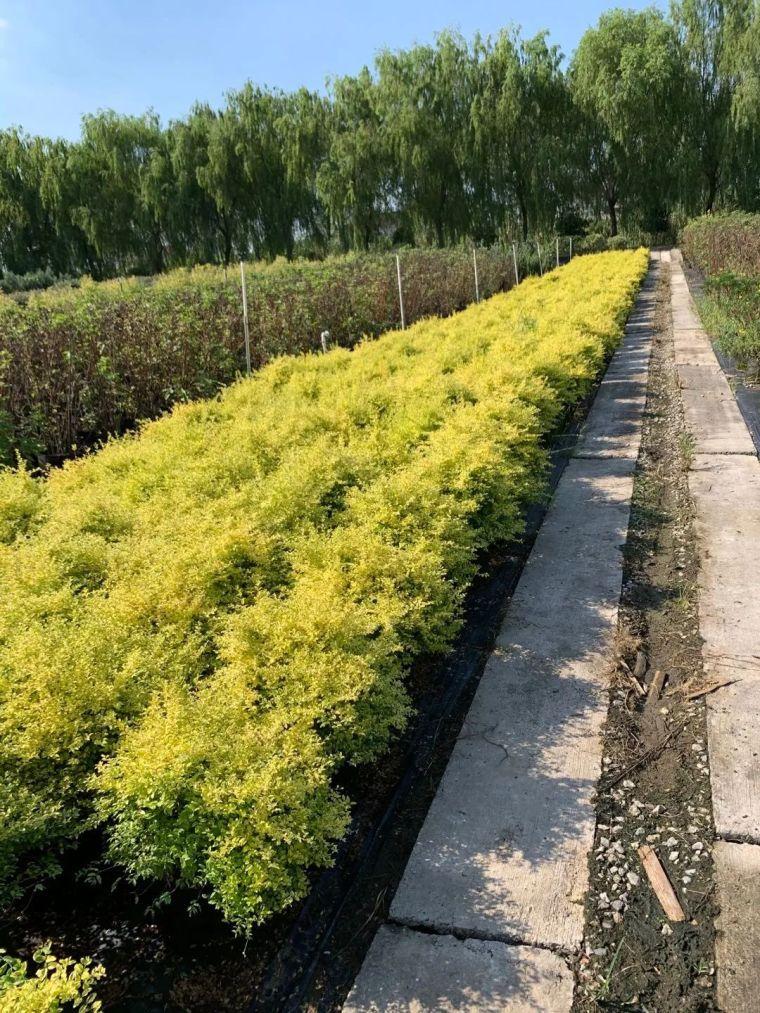 11月份常用的30种花境植物_9