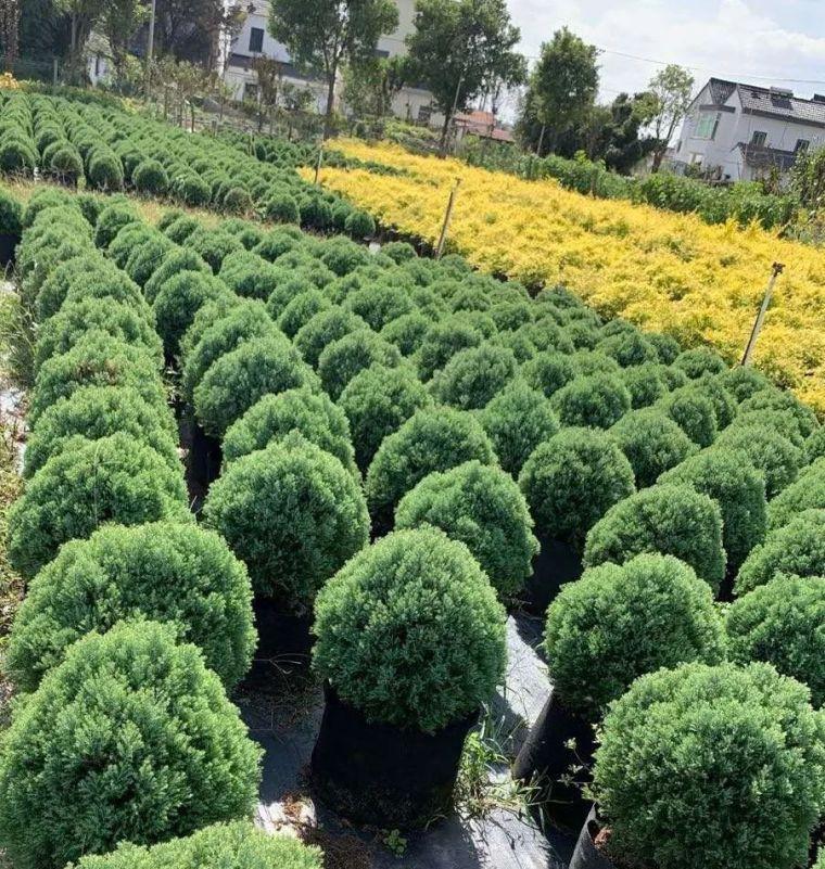 11月份常用的30种花境植物_12