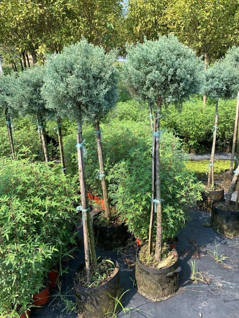 11月份常用的30种花境植物_14